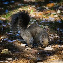 The Forager (MrBlueSky*) Tags: graysquirrel squirrel animal nature outdoor kingdomanimalia kewgardens royalbotanicgardens london pentax pentaxart pentaxlife pentaxk1 pentaxawards pentaxflickraward aficionados