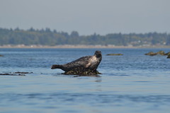DSC_0943 (TerriJane01) Tags: birch bay kayak birchbay photosfromthekayak seals harborseals