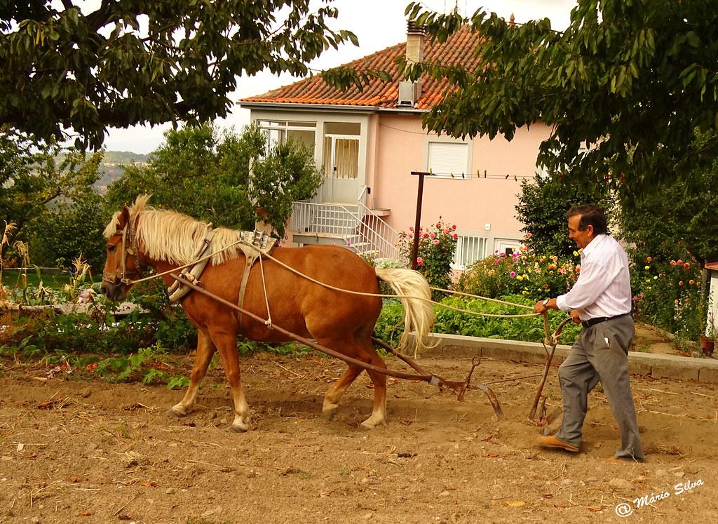 Águas Frias (Chaves) - ... lavrando a terra com arado e com um belo cavalo ...
