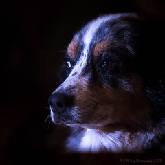 Low Key Pooch Portrait 2 (browtine1) Tags: low key dog canine portrait australian shepherd aussie canon 5d mark iii 70200l