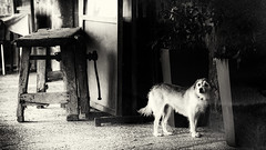 J'attendrai.. (Fred&rique) Tags: lumixfz1000 photoshop raw nb chien passage arcades espagne santapau