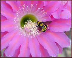 Pink Echinopsis (tdlucas5000) Tags: cactus cactusflowers flower flowers pink bee echinopsis sigma105 macro closeup