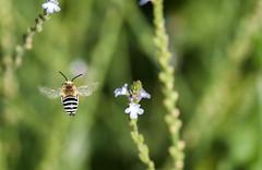 volando voy (Aristides Díaz) Tags: macro vuelodeinsecto insectoenvuelo abeja silvestre florecillassilvestres sigmaapo180macrof56 vegadegranada alhendín