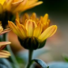 Chrysantheme Makro 01 (p.schmal) Tags: olympuspenepl7 hamburg farmsenberne herbst chrysanthemen makro