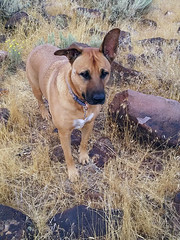 hiking virginiarange hills desert reno nv nevada hiddenvalley bella dog hund chien 狗 σκύλοσ madra cane 犬 perro 개 سگ собака الكلب germansheprador
