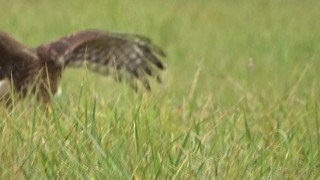 Northern Harrier with catch