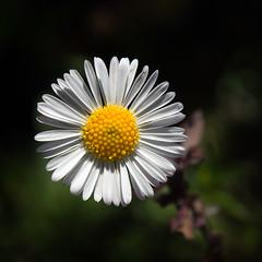 Have a good week (Francisco (PortoPortugal)) Tags: 2142017 20150518fpbo1410 flor flower natureza nature porto portugal portografiaassociaçãofotográficadoporto franciscooliveira