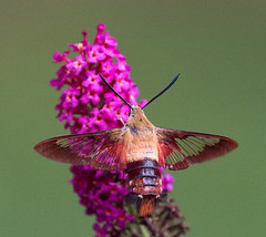Clearwing Hummingbird Moth on Butterfly Bush (ksblack99) Tags: clearwinghummingbirdmoth hemaristhysbe insect butterflybush flower
