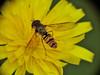 Episyrphus balteatus (cawthraw) Tags: littlehaldon devon episyrphusbalteatus