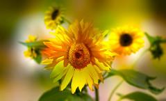 Late summer (augustynbatko) Tags: summer sunflower flower nature macro bokeh blur crayon