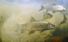 Bubbles and Fish (Fish as art) Tags: canadianfishes coregonids lakewhitefish rivers research rapids fisheries flyfishing paulvecseiphotography underwaterphotographypaulvecsei underwaterphotography unterwasserfotografie poisson expedition