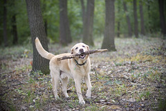 IMG_0382 (BernaPhotography) Tags: dog pet labradorretriever lab yellow forest woods serbia action