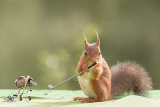 squirrel holds a Golf stick