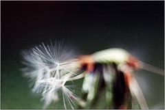 puuuust (Ulla M.) Tags: knappscharf pentaconav80mm28 analog kleinbild 135 dof reflectaproscan10t tetenalcolortec umphotoart nature natur freihand selfdeveloped selbstentwickelt pusteblume dandelion zwischenringe projektionsobjektiv analogue film ishootfilm