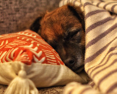 That Kind of Morning... (Flickr Goot) Tags: september 2017 canon eos 60d handheld available light rocket dog mutt pet canine pillow blanket sleeping snoozing