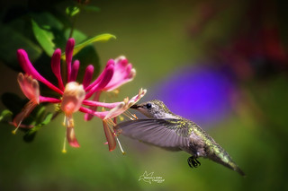 Ruby-throated Hummer (F)