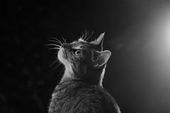 'Candy's Flare' (Jonathan Casey) Tags: cat kitten tabby flare strobe black white nikon 105mm f28 vr d810