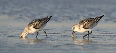 Its Worth The Effort....6O3A0264_65 (dklaughman) Tags: sandpiper sanderling bird assateagueislandnationalseashore maryland