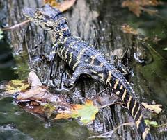 A juvenile American Alligator (seangilbert4) Tags: crew corkscrewswampsanctuary swamp outdoors 80d canoneos80d canon wildlifephotography naturephotography wildlife nature americanalligator alligator gator