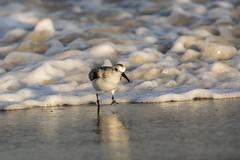 Sanderling and The Surf....6O3A0374CR2A (dklaughman) Tags: sandpiper sanderling bird assateagueislandnationalseashore maryland