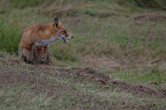 R17_0735 (ronald groenendijk) Tags: cronaldgroenendijk 2017 rgflickrrg vulpesvulpes animal fox groenendijk holland nature natuur natuurfotografie netherlands outdoor rodevos ronaldgroenendijk vos wildlife
