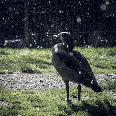 More Rain (room76com) Tags: rain regen raindrops shower drops droplets water sun sunlight new september germany nikon nikkor green white wet nass nature natur wiese grass tree naturephotography art light sonne