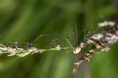 Harvestman (Mark Wasteney) Tags: happybeautifulbugbuttthursday arachnida arthropoda opiliones hbbbt closeup upclose outdoors wildlife nature ukwildlife