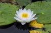 """""""The Waterlily"""" (Photography by Sharon Farrell) Tags: waterlily lilypad lilypond paxsonhillfarm paxsonfamily paxsonhill artinthegarden newhope newhopepa newhopepennsylvania buckscounty buckscountyfarms buckscountypa"""