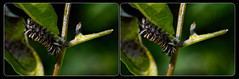 Milkweed Tiger Moth Caterpillar (Stereo) (tombentz33) Tags: stereo 3d crossview outdoors nature insects caterpillar