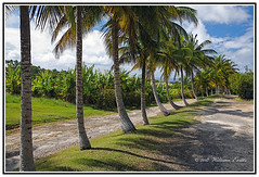 Caribbean - Barbados - An Avenue of Palm Trees - Arecaceae Family. (Bill E2011) Tags: caribbean barbados palm trees canon beauty elegant