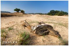 Kootwijkerzand (Peter Halma) Tags: halma photography peter landscape landschap kootwijkerzand sand wood tak branch tree zandverstuiving veluwe groothoek wide angle natuur nature