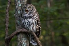 Barred Owl (Strix varia), Davidson County, Tennessee (kmalone98) Tags: wildlife owls barredowl strigidae strixvaria aves