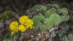 Fuligo septica - Fleur de tan sur mousse (Vincent L°) Tags: aquitaine arengosse france leslandes nouvelleaquitaine mycologie photonaturaliste saison été