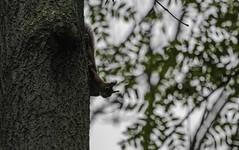 A l'affût! (Maxime's pictures) Tags: tree foret forest écureuil écureuilroux red squirrel redsquirrel eurasiansquirrel sciurusvulgaris