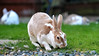lawnmowers (Paul Wrights Reserved) Tags: grass rabbits eating rabbit bunny bunnies