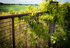 Importance (HFF) (13skies) Tags: barrier guard protect stop heed neglect fence beyond hop fencefriday gate repel grapes growth happyfencefriday friday field warning important notrespass stopping wait see distance
