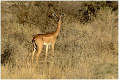 The Giraffe Gazelle! (MAC's Wild Pixels) Tags: thegiraffegazelle gerenuk litocraniuswalleri gazelle antelope animal wildlife herbivore grazer wildanimal outdoors wildafrica outofafrica africanwildlife gamedrive safari buffalospringsnationalreserve samburu kenya macswildpixels litocranius sunset goldenlight goldenhour nature mammal coth5 ngc