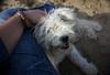 New friend (kisnikee) Tags: dog whitedog villagedog puppy cute pet adoptadog puli whitepuli hungarianpuli pulimix