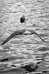 St Margarets Loch September 2017-33 (Philip Gillespie) Tags: focus panning tracking birds motion swans ducks geese pigeons seagulls gulls water park nature outdoors wildlife canon eos 5dsr outside hill grass green blue white black mono monochrome colour wings feathers people kids men women girls boys bench feeding food contrast beaks bills rain spread flying swimming wet drops sky clouds eyes splash drip sitting ruin tree bird