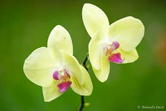 (davidboubouille) Tags: departementsdoutremer fleur france lareunion letampon orchidée