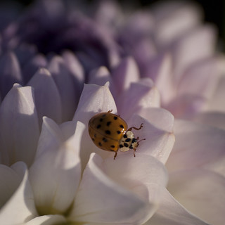 Coccinelle chinoise