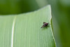 Tiny Fly on a Corn Leaf 1 (LongInt57) Tags: fly insect bug corn maize leaf leaves small tiny black green white grey gray nature kelowna bc canada okanagan garden red eyes