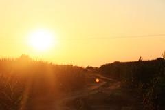 manchmal kann ich dir vergeben. (sommerpfuetze) Tags: evening sun sunset nature lenflare color mais field maisfeld feldweg vorpommern abend sonnenuntergang lichtliebe natur himmel pommernmärchen sonnenstrahlen yellow lensflare
