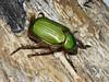 Leconte's Jewel Beetle (rstickney37) Tags: arizonabeetles rutelinae chrysina chrysinalecontei jewelbeetle lecontesjewelbeetle