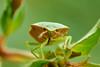 Palomena prasina 20170817 , NGIDn1183734804 (naturgucker.de) Tags: ngidn1183734804 naturguckerde palomenaprasina johannisberg unterebrunnengasse carnolaber