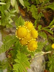 Tanacetum camphoratum (tammoreichgelt) Tags: dune tansy camphor asteraceae daisy vancouver island beach yellow flower foliage inflorescence