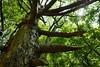 rogovilasti bor (klemengorup) Tags: pinetree wideangle hugetree woods forest summer slovenia