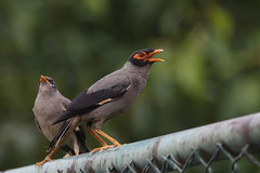 Bank Myna (Chris B@rlow) Tags: acridotheresginginianus bankmyna myna mynabird bird birds indianbirds rajasthan jaipur india indianwildlife nature wildlife canon7dmarkii sigma150600sport