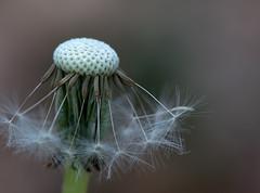 Dandelion Macro (glendamaree) Tags: dandelion weed nature nikon macrophotography weeds