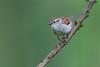Chipping Sparrow (PhillymanPete) Tags: portrait wildlife nature bird baldpatemountain green sparrow chippingsparrow perch hopewelltownship newjersey unitedstates us nikon d800e profile
